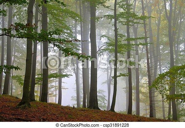 Bosque de Beech en la niebla - csp31891228